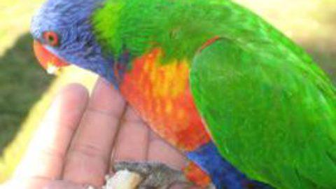Australische Papageien